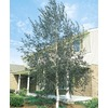 8.75-Gallon Single Trunk European White Birch (L8444)