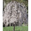 8.75-Gallon White Weeping Cherry (L3232)