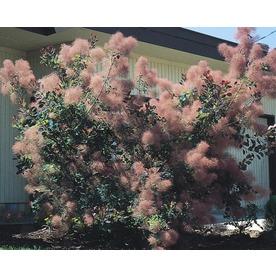 1.6-Gallon Pink Smoke Tree Feature Shrub (L4697)