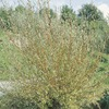  12.07-Gallon Coral Bark Willow (L24034)
