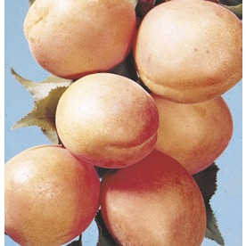 5.98-Gallon Tilton Apricot Tree (L4555)