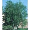 12.07-Gallon Whitespire Clump Birch (L3818)