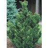 9.55-Gallon Hinoki False Cypress (Lw02477)