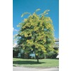 5.5-Gallon Sunburst Honeylocust Tree (L1059)