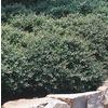 2.84-Quart Stokes Dwarf Yaupon Holly Foundation/Hedge Shrub (L9287)