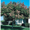  10.25-Gallon Golden Raintree (L1159)
