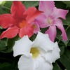 11.1-Gallon Mandevilla (L10440)