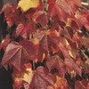 11.1-Gallon Boston Ivy (L5318)