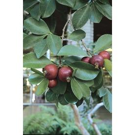 Village Nurseries 3.25-Gallon Strawberry Guava Small Fruit (L22751)