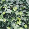 11.1-Gallon English Ivy (L5369hp)