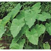 Village Nurseries 3.25 Gallon(S) Elephant Ear (L8541)