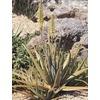 2.84-Quart Aloe Vera (L4365)