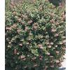 2.84-Quart Pink Pink Princess Escallonia Flowering Shrub (L7508)