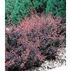 2.84-Quart Rose Glow Barberry Accent Shrub (L3442)
