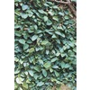 2.84-Quart Creeping Fig (L10844)