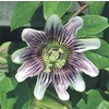 2.84 QT PASSIFLORA PASSION VINE