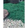 2.84-Quart Greenmound Juniper Accent Shrub (L9290)
