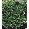 2.84-Quart White Waxleaf Ligustrum Foundation/Hedge Shrub (L3255)