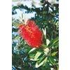 2.84-Quart Red Bottlebrush Accent Shrub (L3148)
