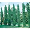  2.84-Quart Italian Cypress (L3291)