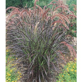 2.84-Quart Purple Fountain Grass (L8564)