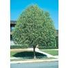11.1-Gallon Desert Willow (L1105)