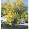 11.1-Gallon Blue Palo Verde (L4007)