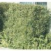 11.1-Gallon Hopseed Bush Screening Shrub (L14895)