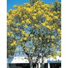 11.1-Gallon Tree Of Gold (L10453)