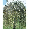 11.1-Gallon Yellow Weeping Pussy Willow Tree (LW01654)