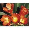 2.84-Quart Orange Kaffir Lily (LW01888)