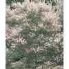  2.84-Quart Tea Tree (L14380)