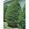 2.84-Quart Carolina Cherry Laurel (L11188)