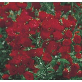 2.84-Quart Red Lady Banks Rose (LW03784)