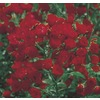  2.84-Quart Red Lady Bank's Rose (LW03784)