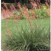 2.84-Quart Red Red Yucca Feature Shrub (L7029)