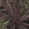  3.25 GAL CORDYLINE PREMIUM