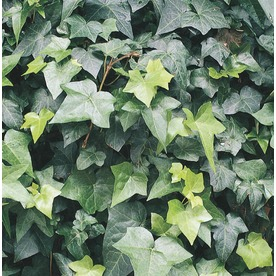 3.25-Gallon English Ivy (L5369hp)