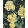  3.25-Gallon Yellow Lady Bank's Rose (L9769)