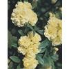 3.25-Gallon Yellow Lady Banks Rose (L9769)