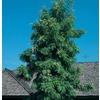 2.5-Quart Silk Oak Tree (L6315)