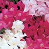 3.58-Gallon Mixed Oleander Flowering Shrub (L0056)