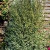 3.58-Gallon Purple Silver Sheen Pittosporum Foundation/Hedge Shrub (L26678)