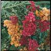 1.5-Gallon Mixed Hybrid Bougainvillea Flowering Shrub (L5710)