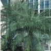 24.2-Gallon Pygmy Date Palm (LTL0059)