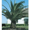  24.2-Gallon Canary Island Date Palm (L7541)