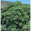 11.1-Gallon Tupidanthus (L5959)