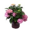 3-Gallon Mixed Hydrangea Flowering Shrub