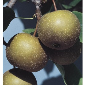 3.74-Gallon Moonglow Pear Tree (L1395)
