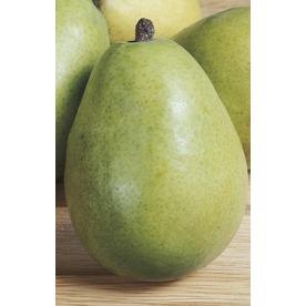 3.74-Gallon DAnjou Pear Tree (L10496)